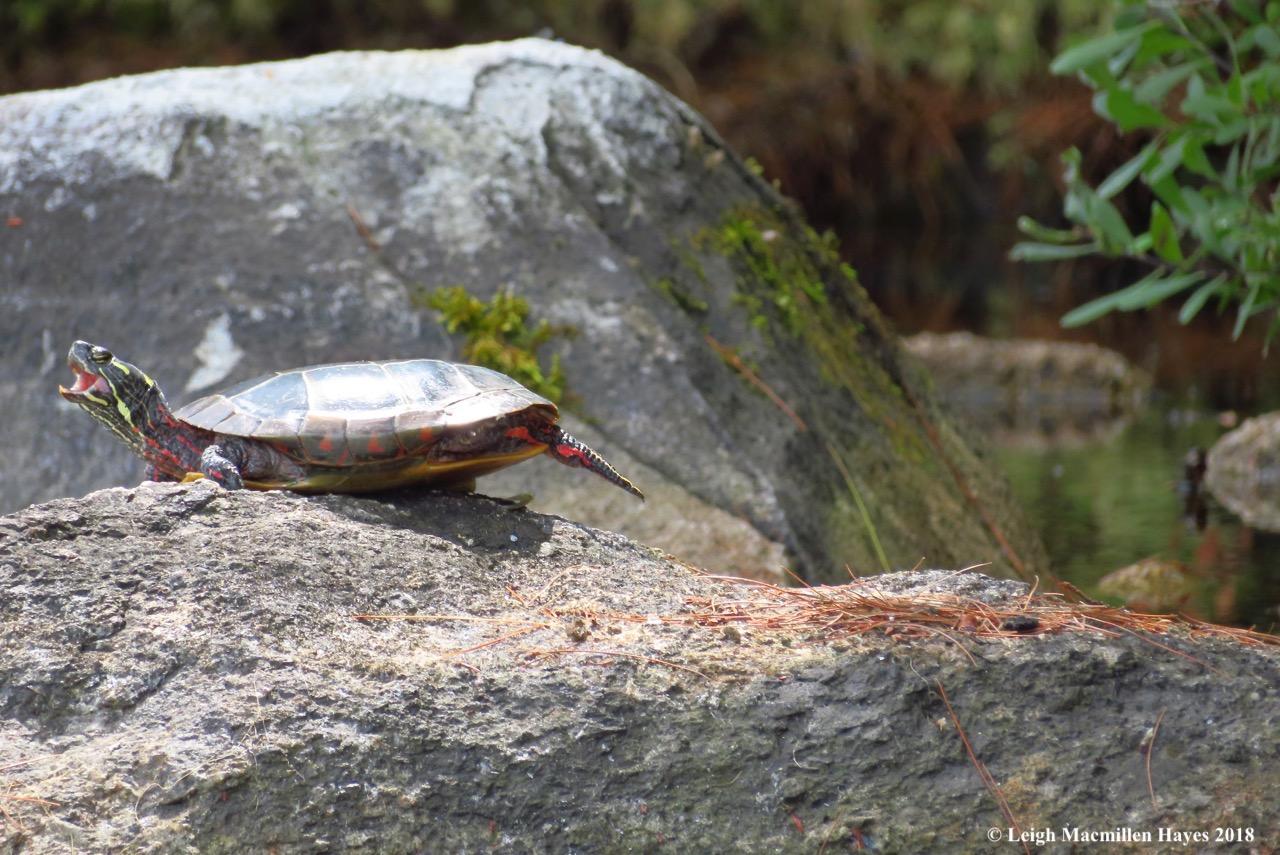 19-painted turtle