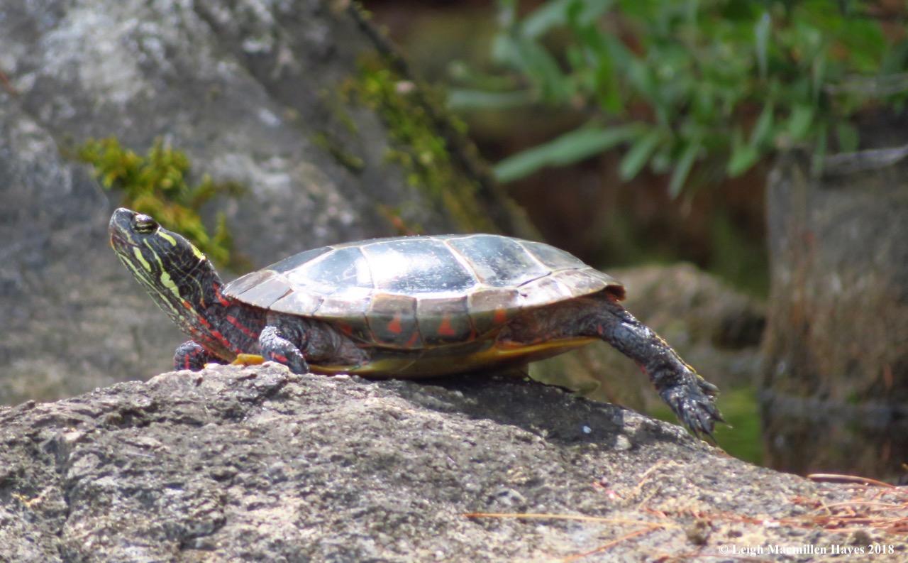 20-turtle basking