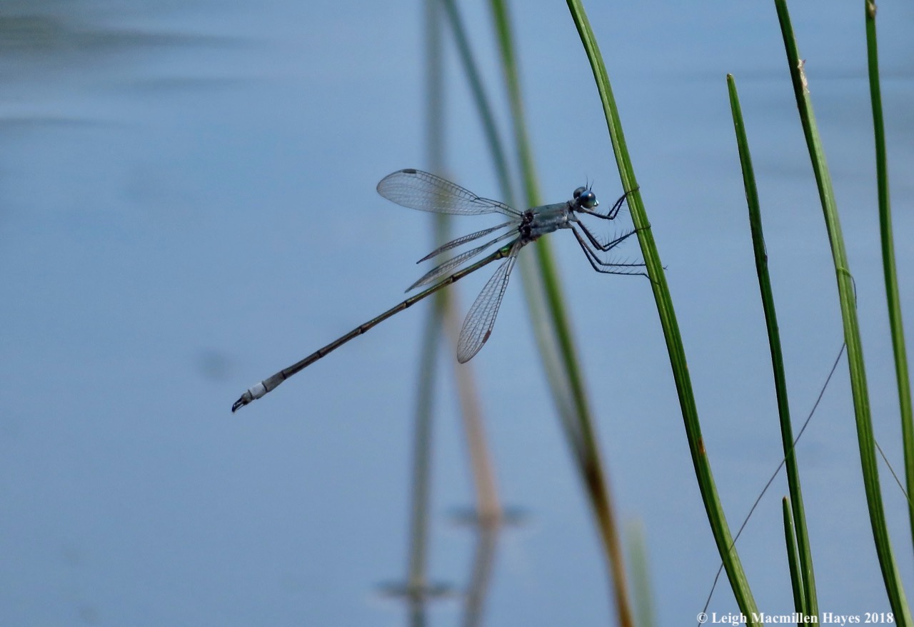 4-spreadwing