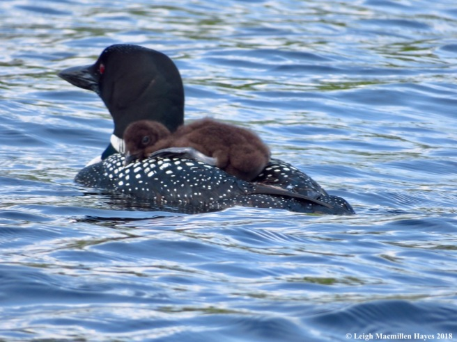 c12-loon chick