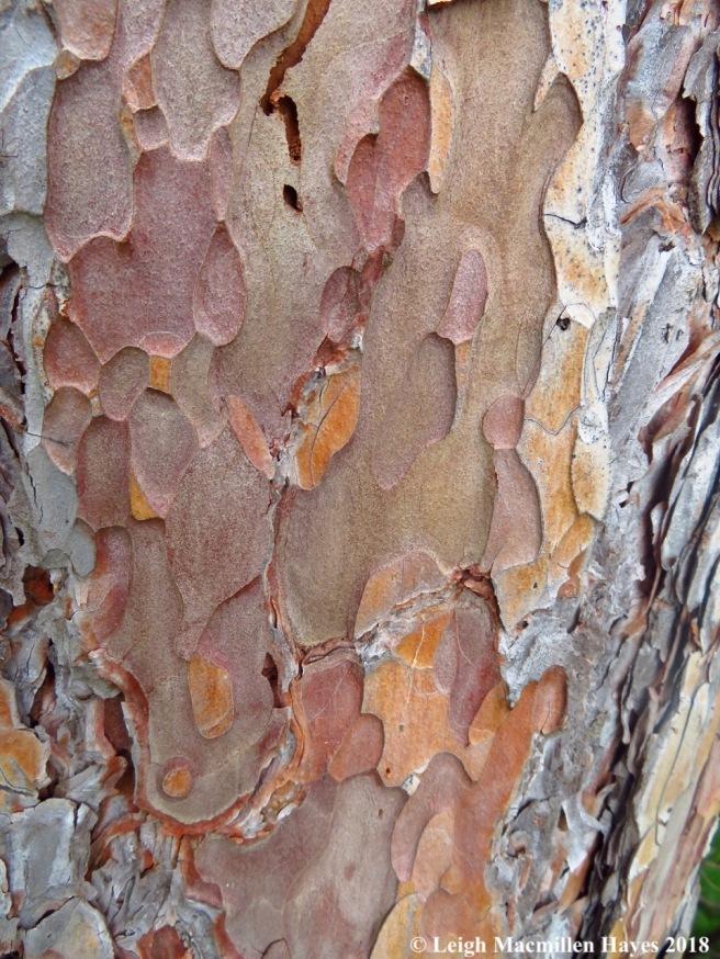 c13-red pine