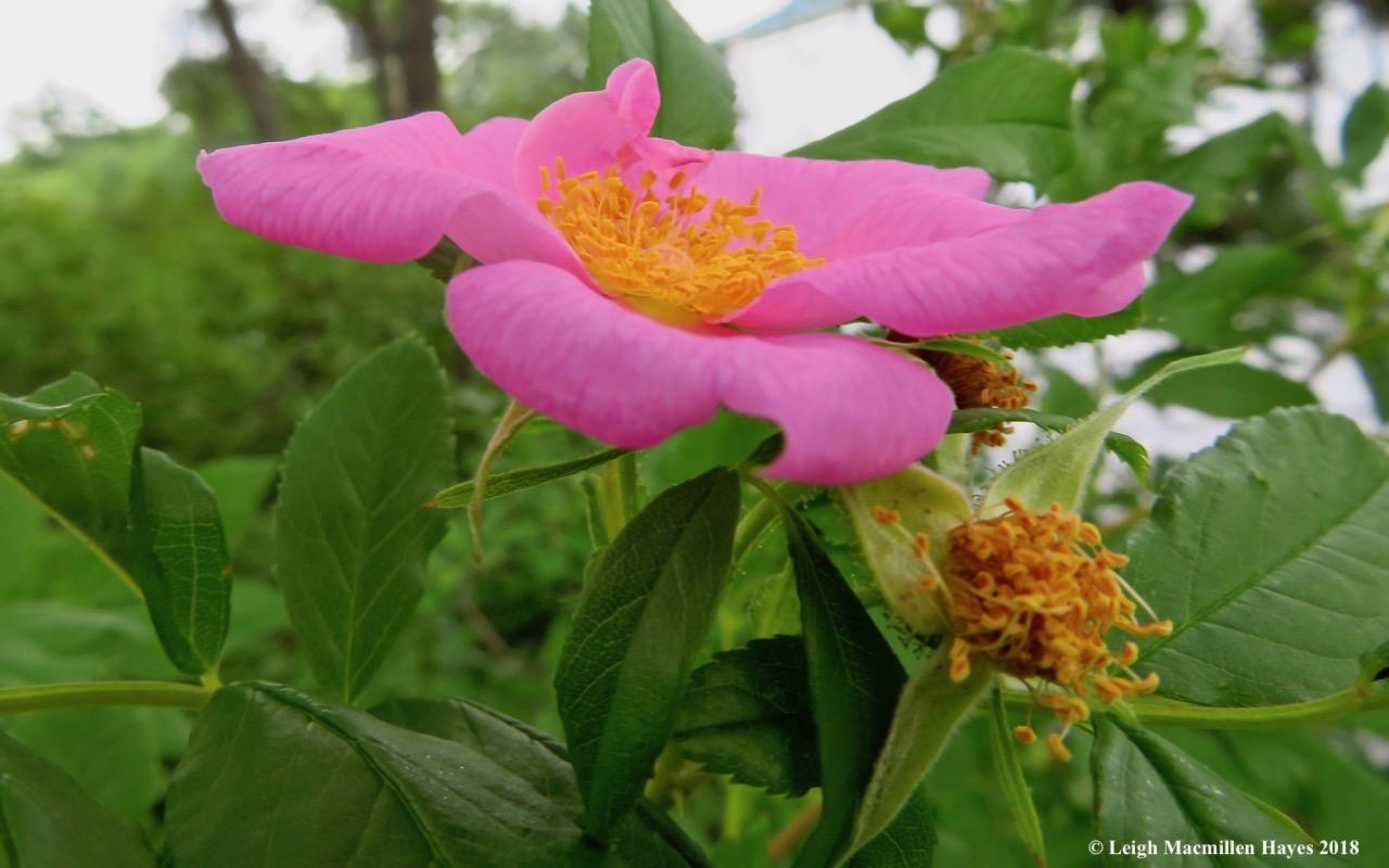 c14-swamp rose