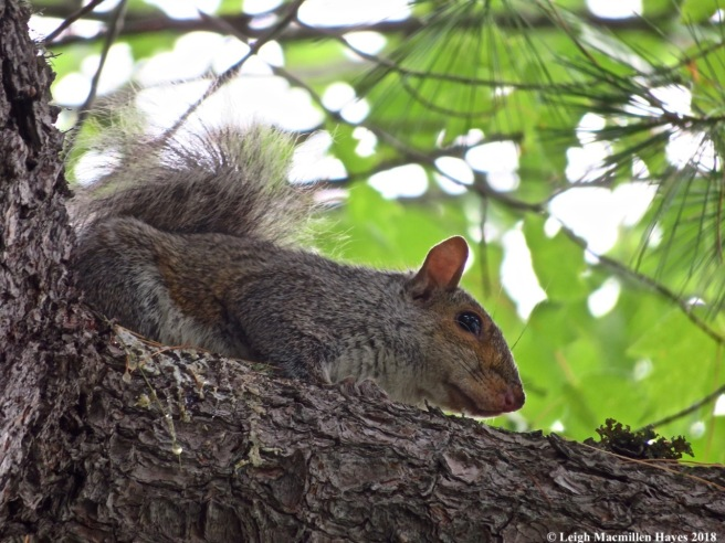c2-gray squirrel