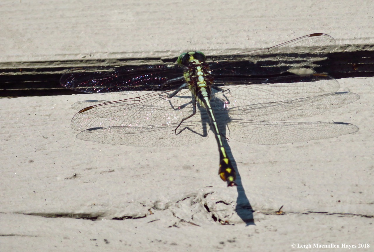 c6-lancet clubtail dragonfly
