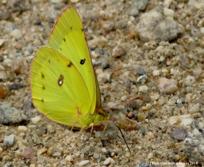 h16-clouded sulphur butterfly
