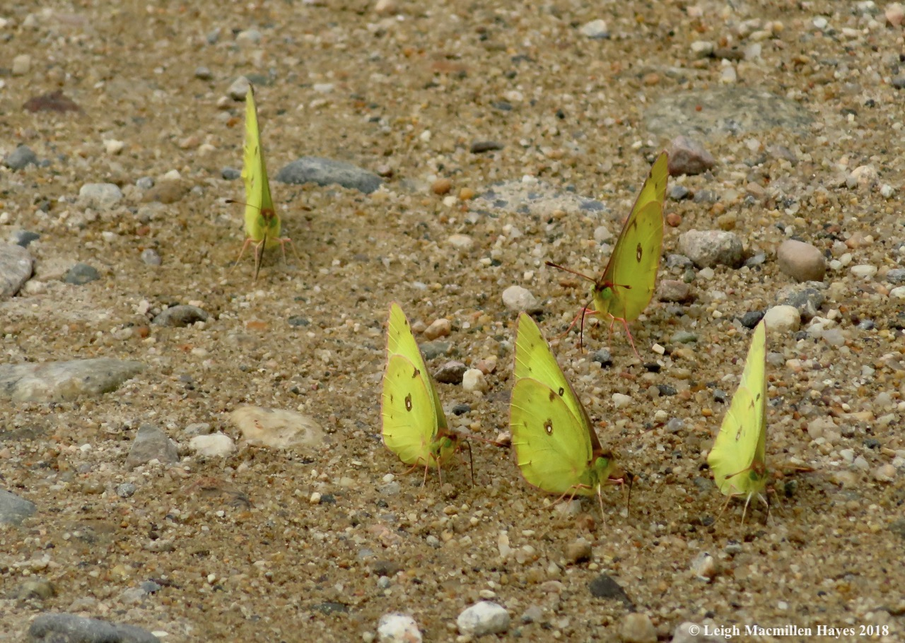 h16- clouded sulphurs puddling