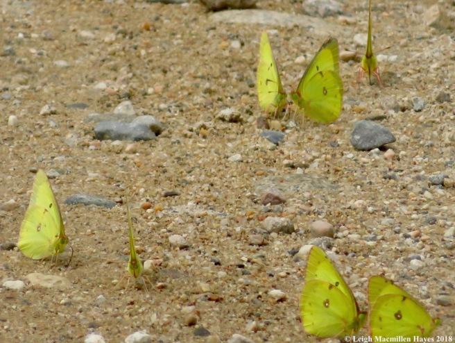 h17-butterflies puddling