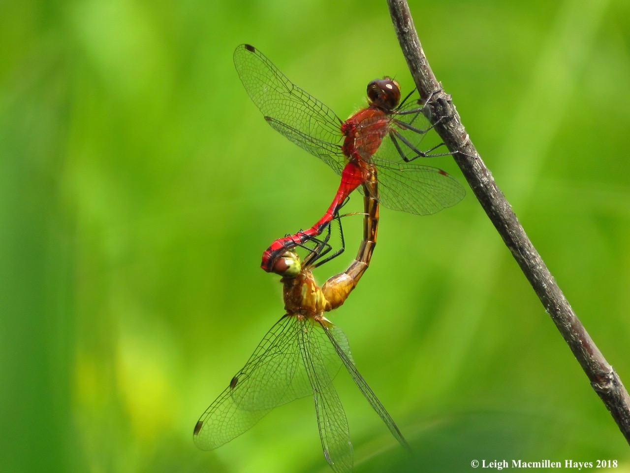 h23-ruby meadowhawks canoodling