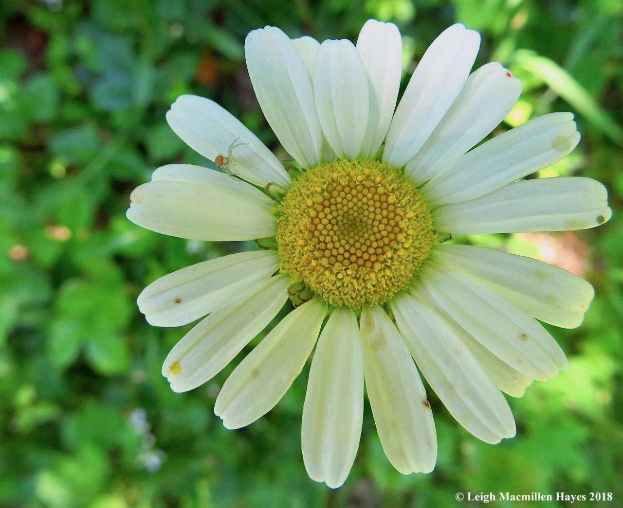 j4-daisy and crab spider