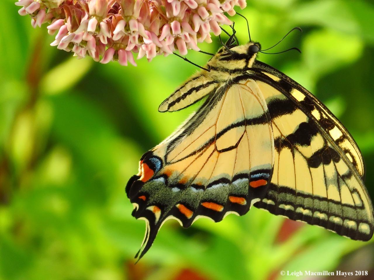m1-swallowtail butterfly