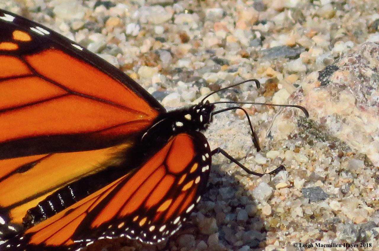 m13-monarch puddling