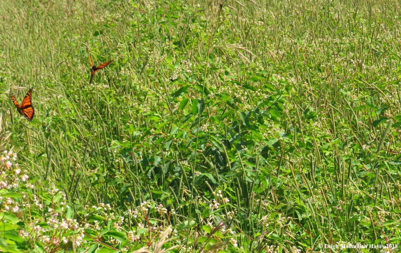 m14-monarchs fluttering