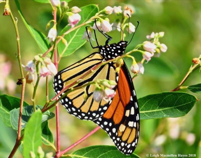 m15-monarch on dogbane