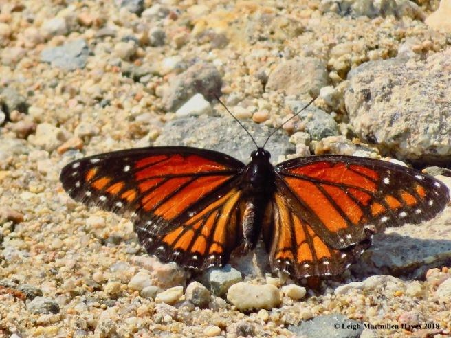 m16-viceroy butterfly
