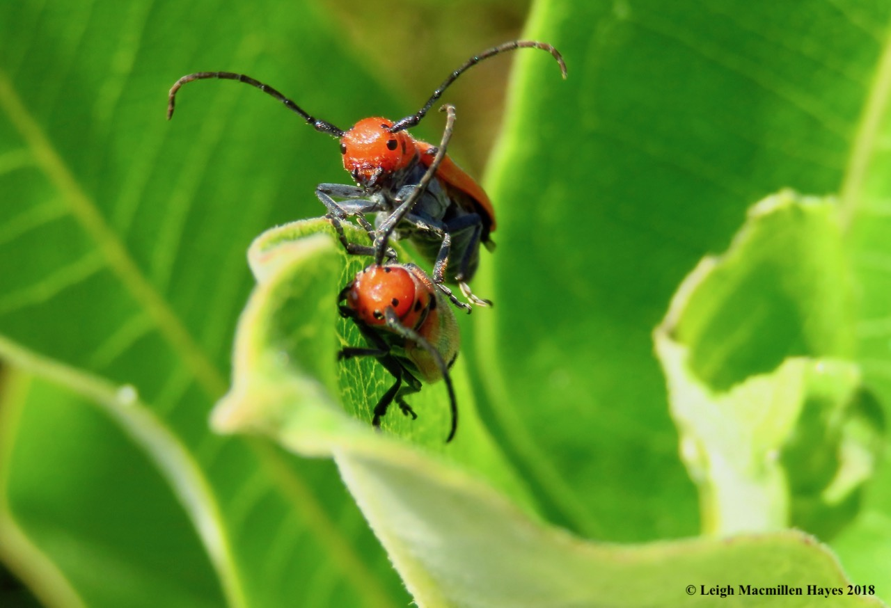 m17-red milkweed beetles