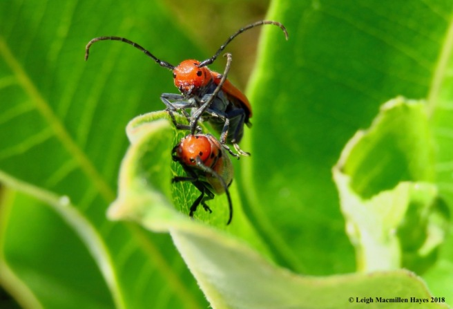 m17-red milkweed beetles