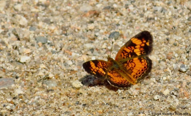 m19-silvery checkerspot butterfly