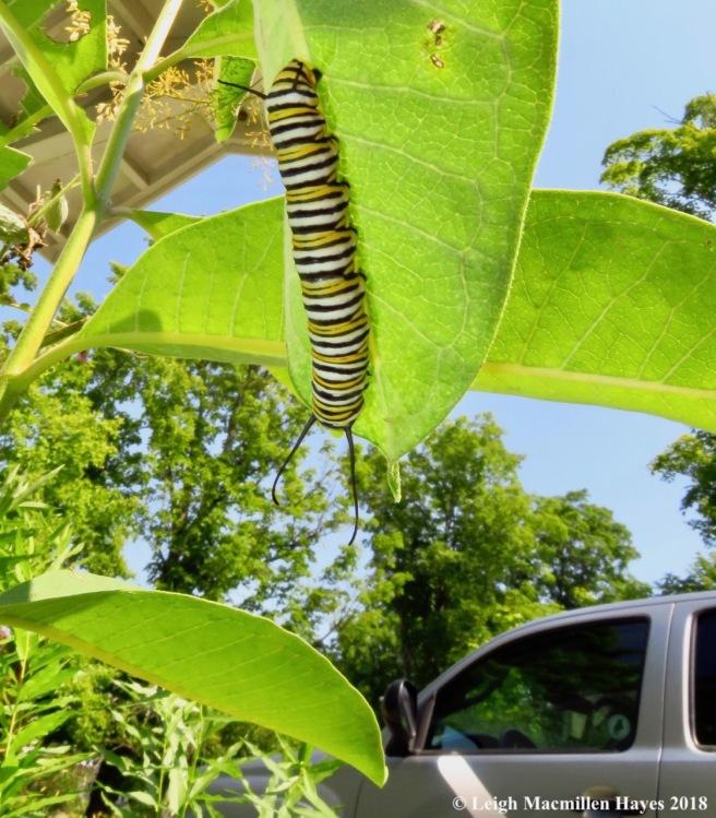 m25-adult monarch caterpillar