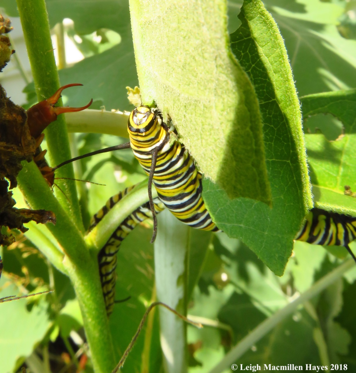 m26-two monarch caterpillars