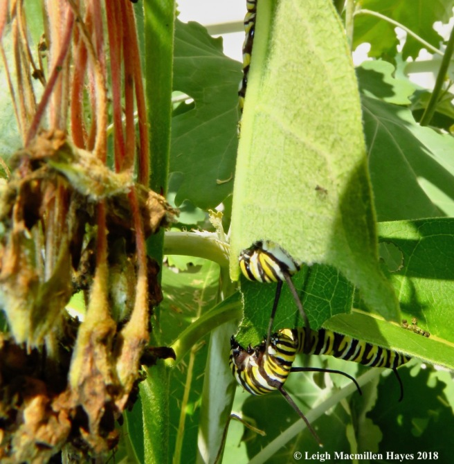 m29-munching leaves like an ear of corn