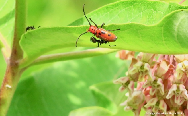 m5-red milkweed beetle and ant