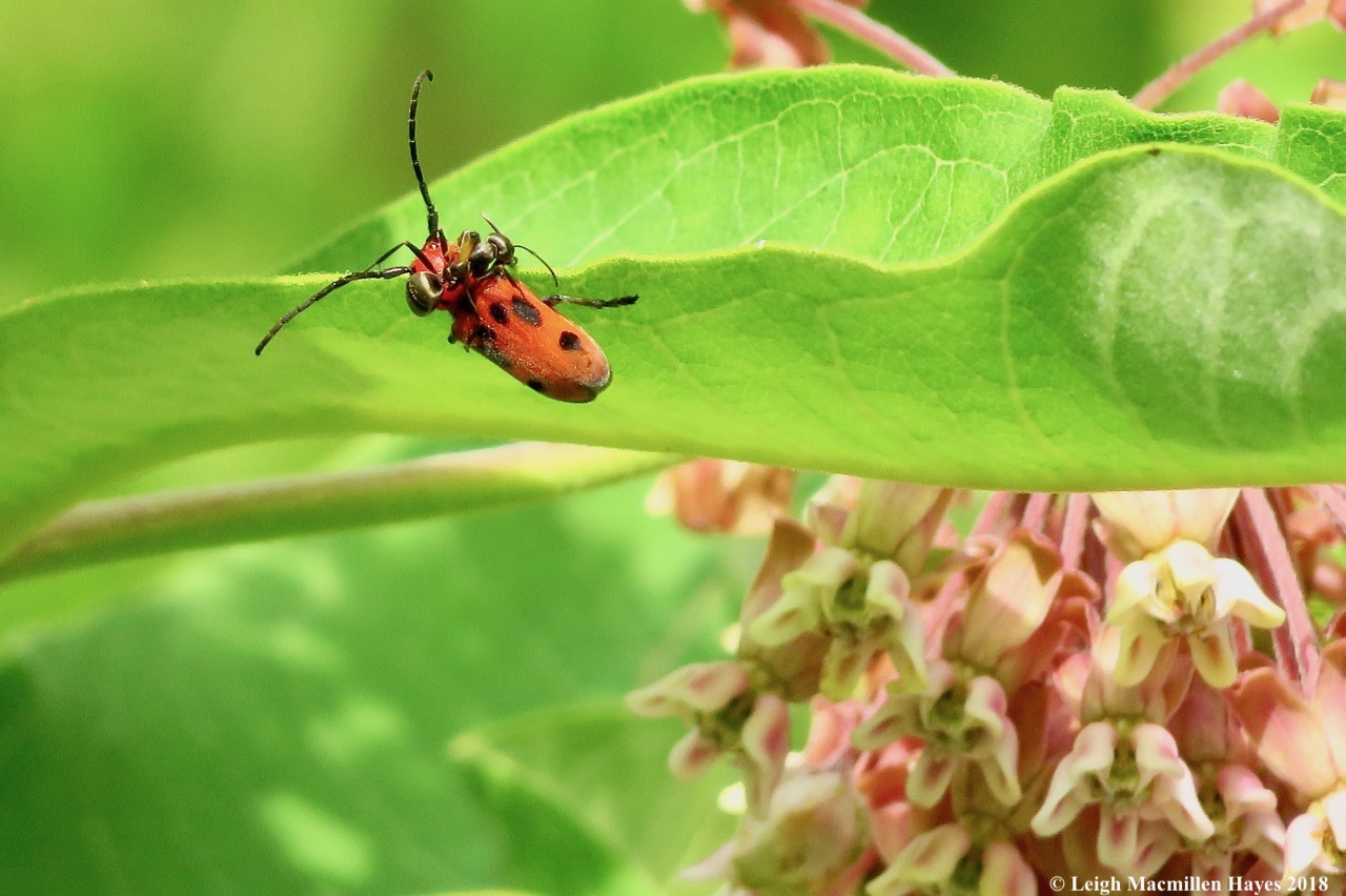 m6-ant climbs over red milkweed beetle