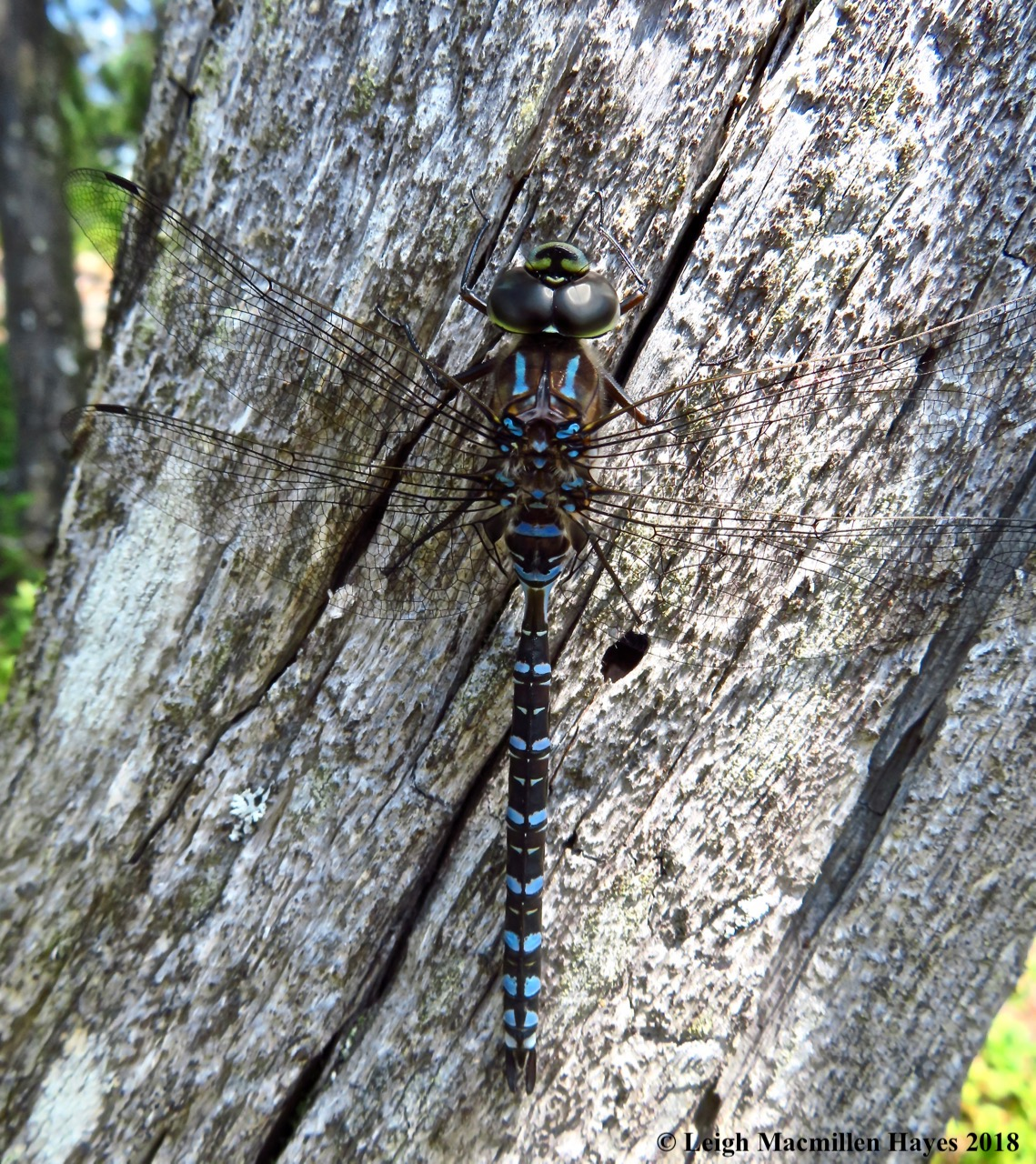 10-Lake Darner Dragonfly