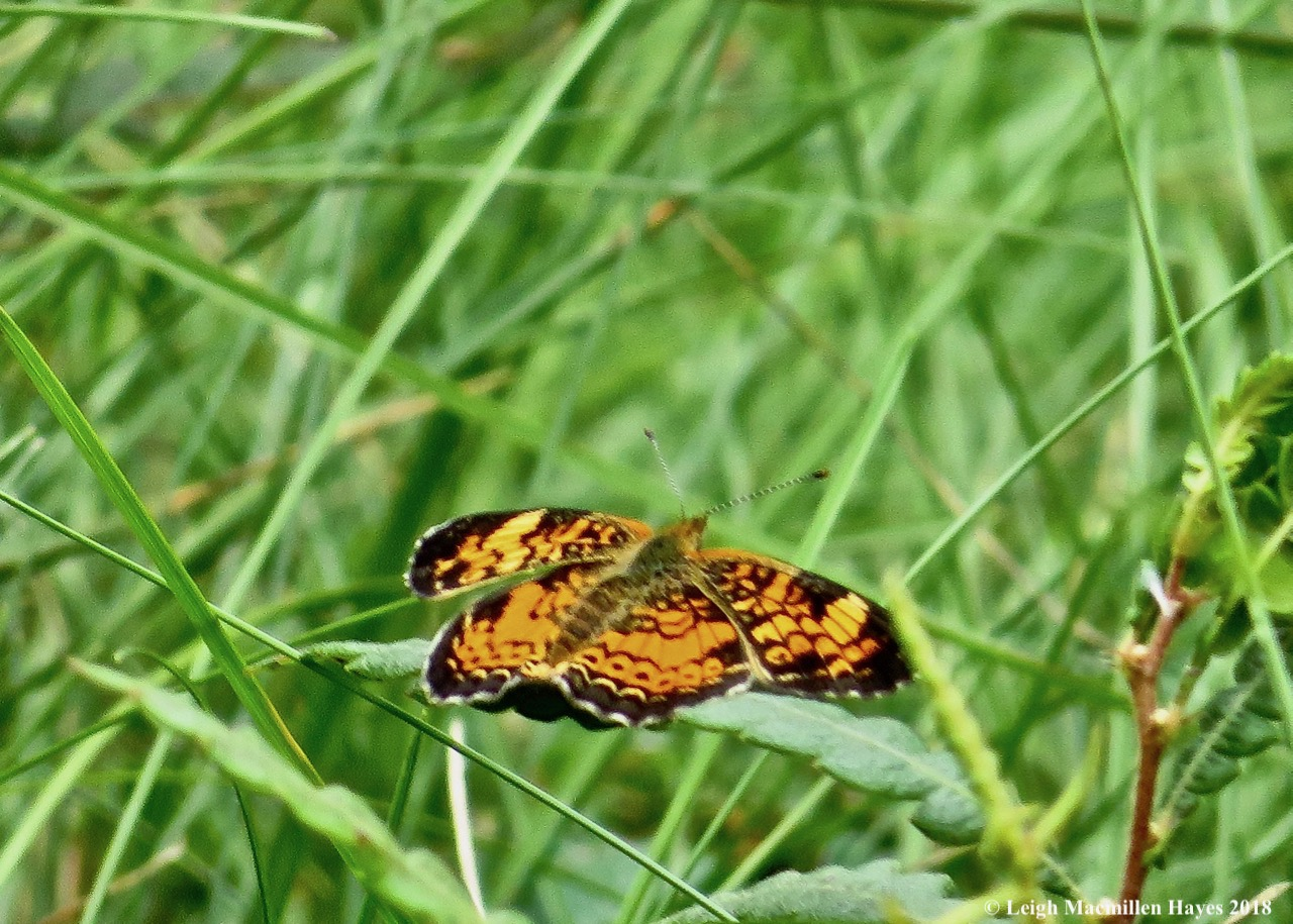 13-silvery checkerspot butterfly