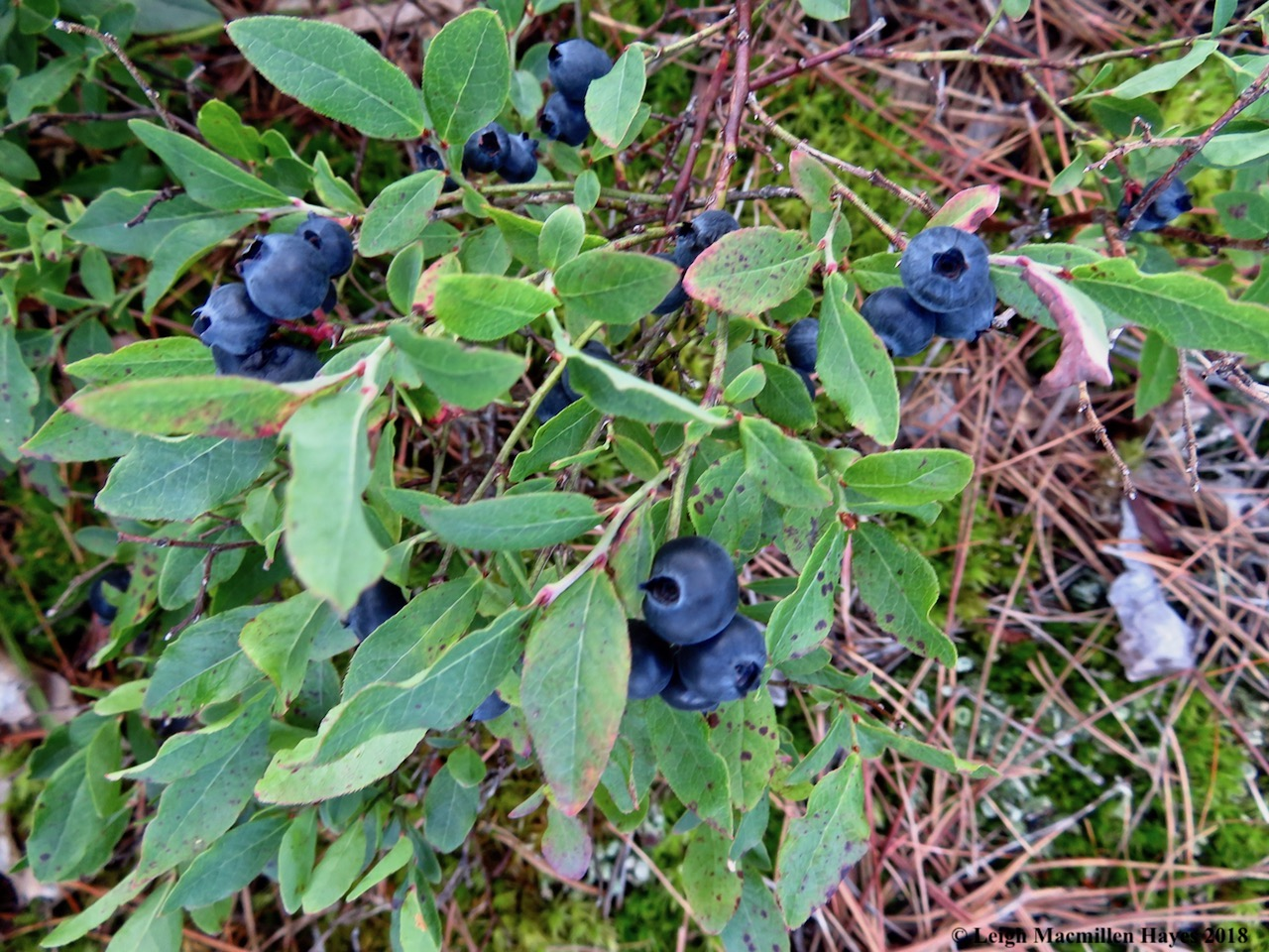 14-blueberries