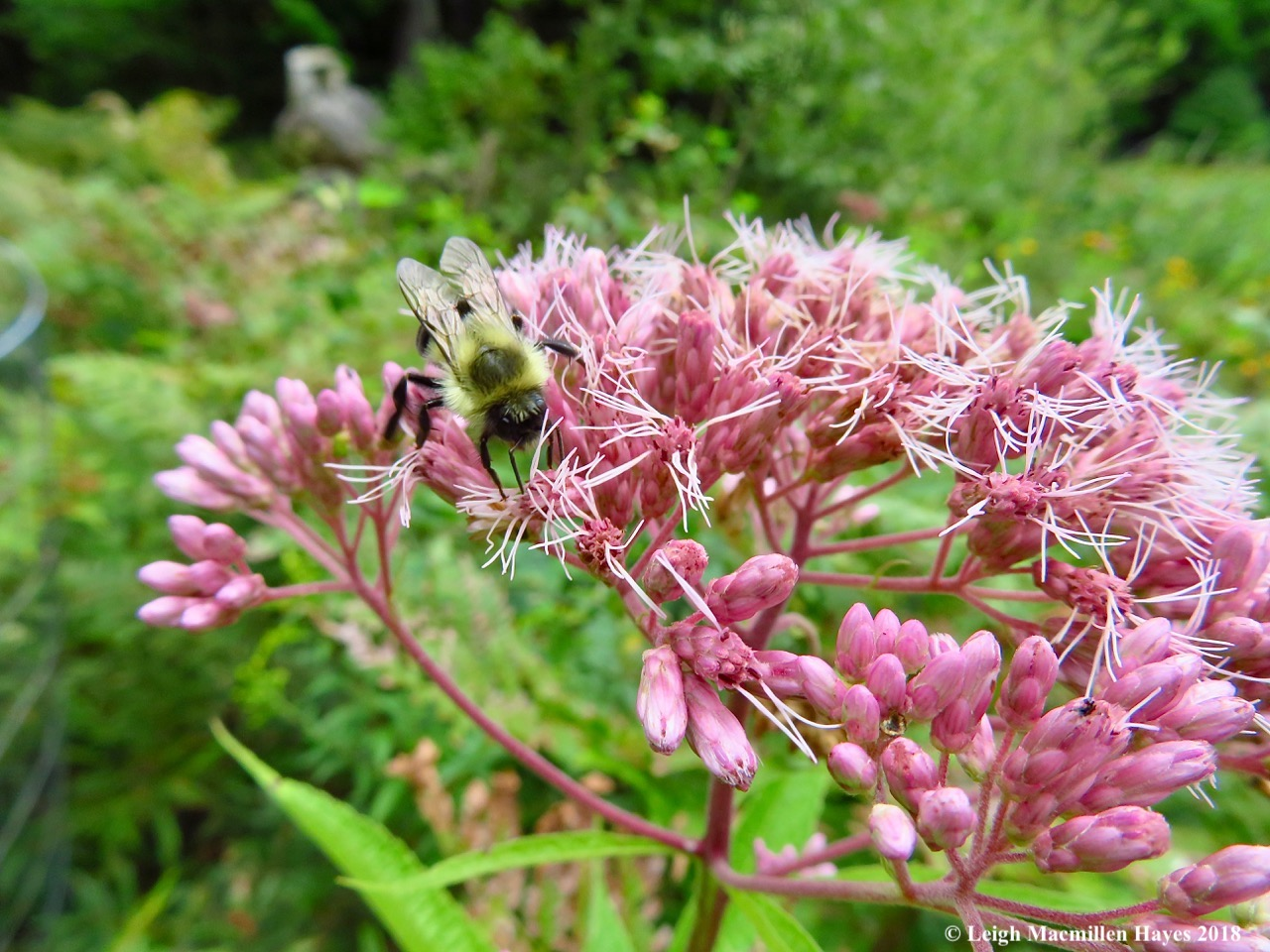 15-bees on Joe Pye Weed
