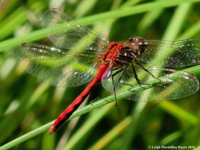 15-cherry-faced meadowhawk