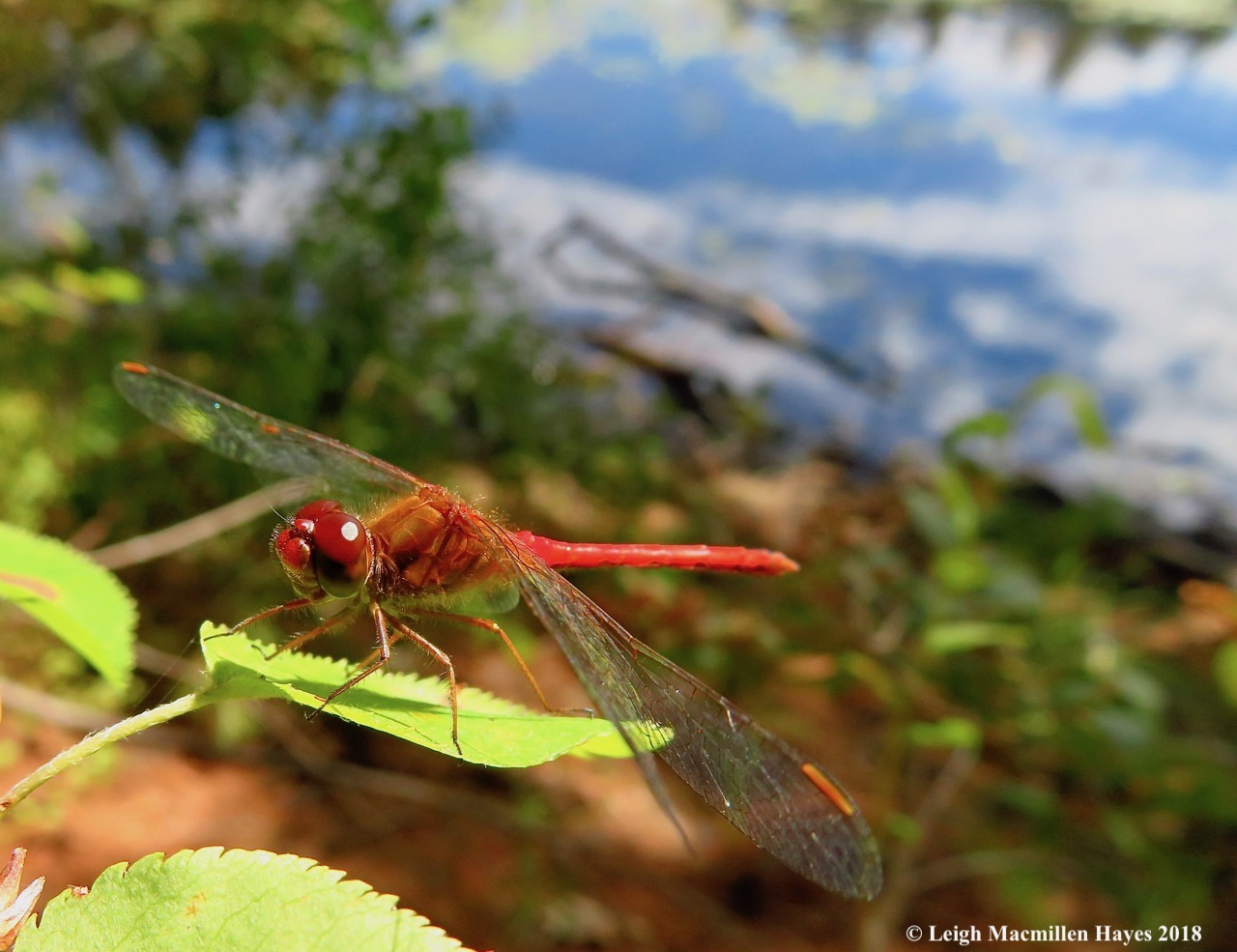 16-Autumn Meadowhawk Dragonfly