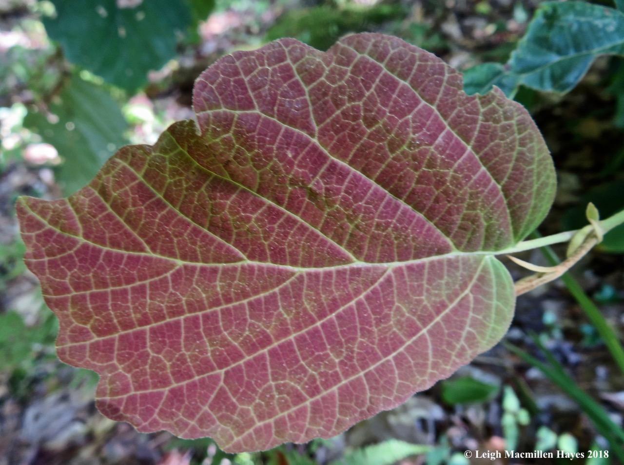 16-hobblebush leaves