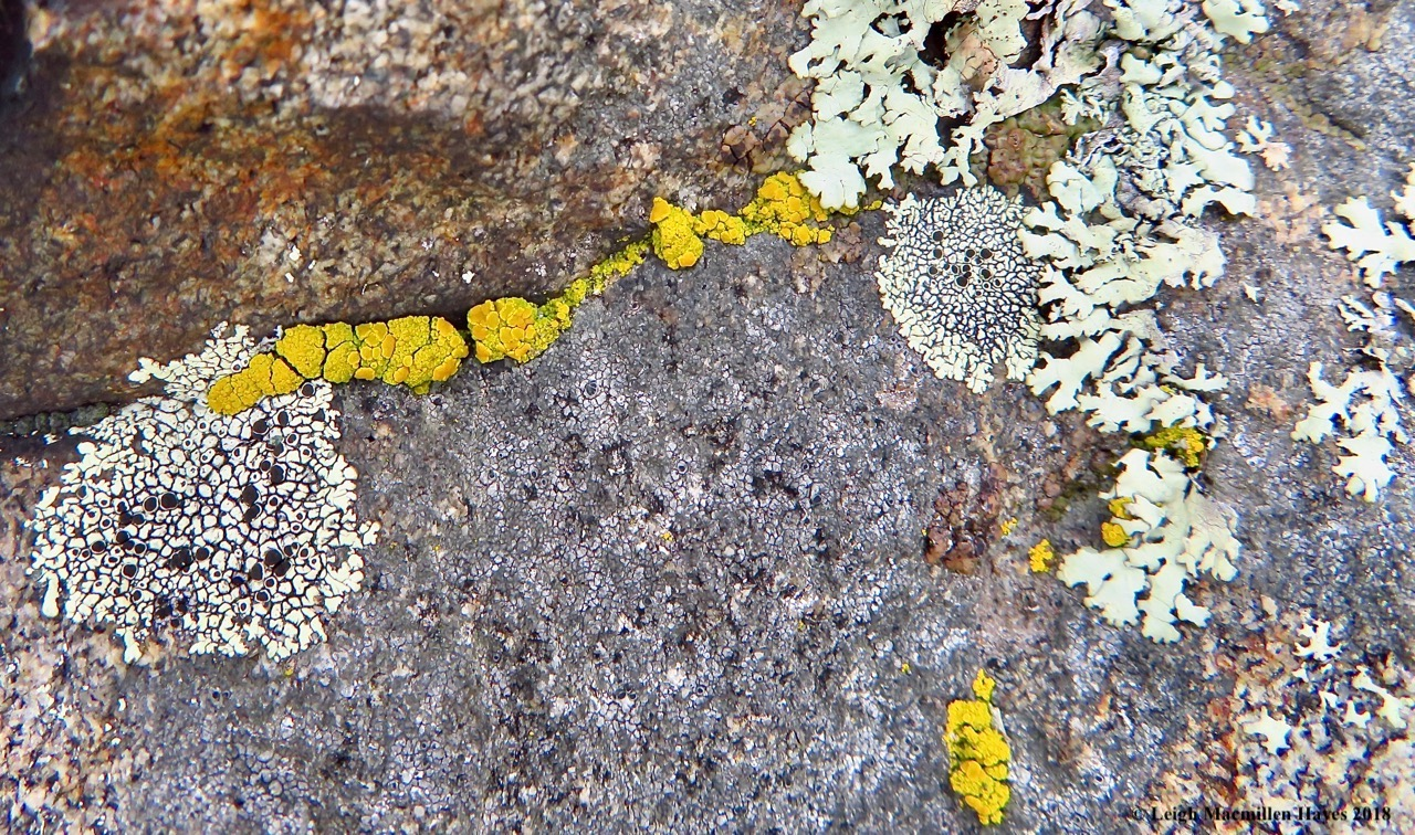 17-Common goldspeck lichen (Candelariella vitellitta