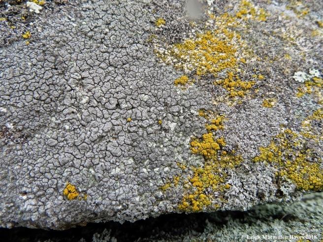 18-granite-speck rim lichen
