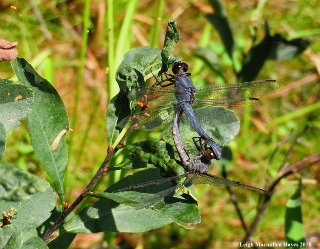 18-slaty skimmer dragonflies