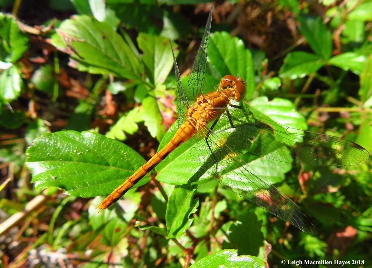 20-female ruby meadowhawk dragonfly