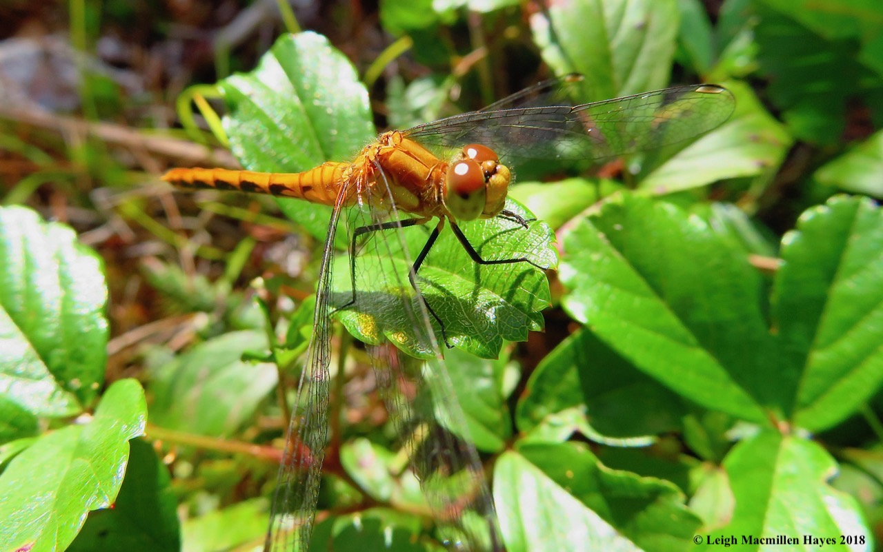 21-female ruby meadowhawk dragonfly