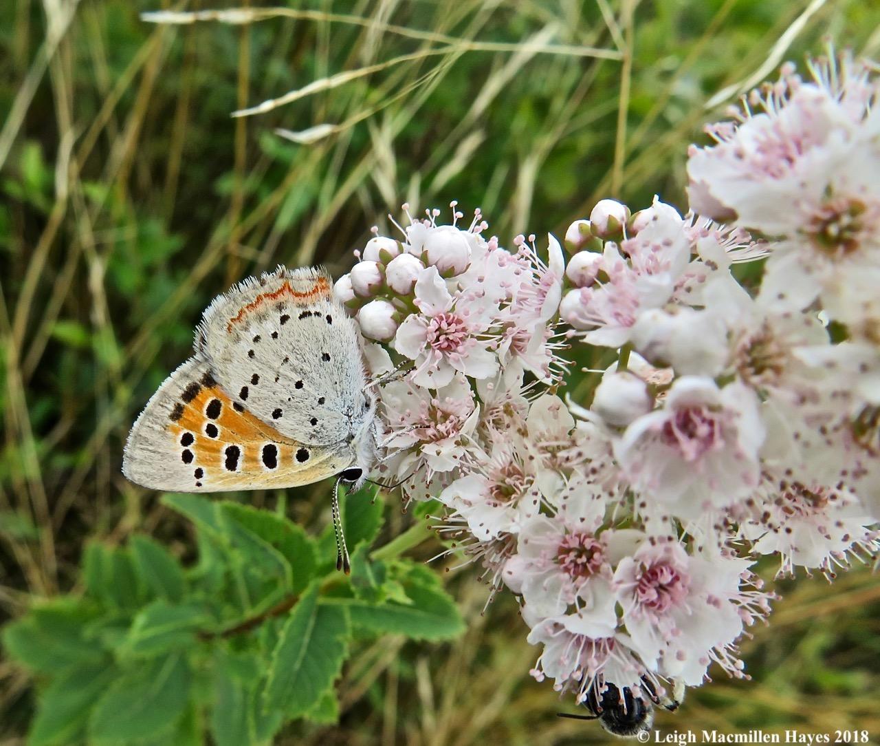25-American Copper Butterfly