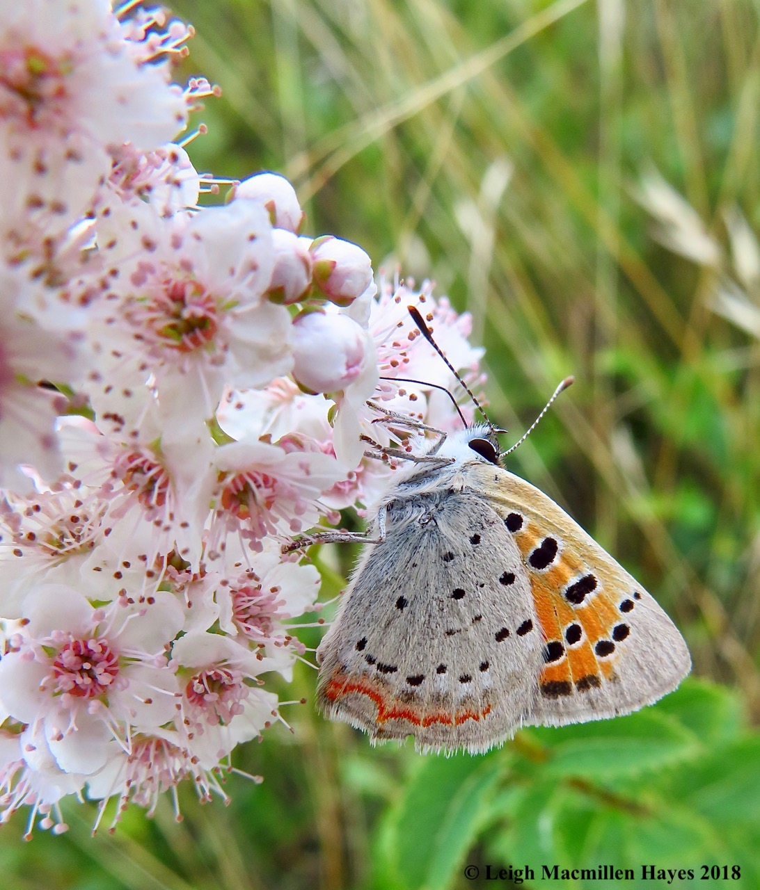28-American Copper Butterfly