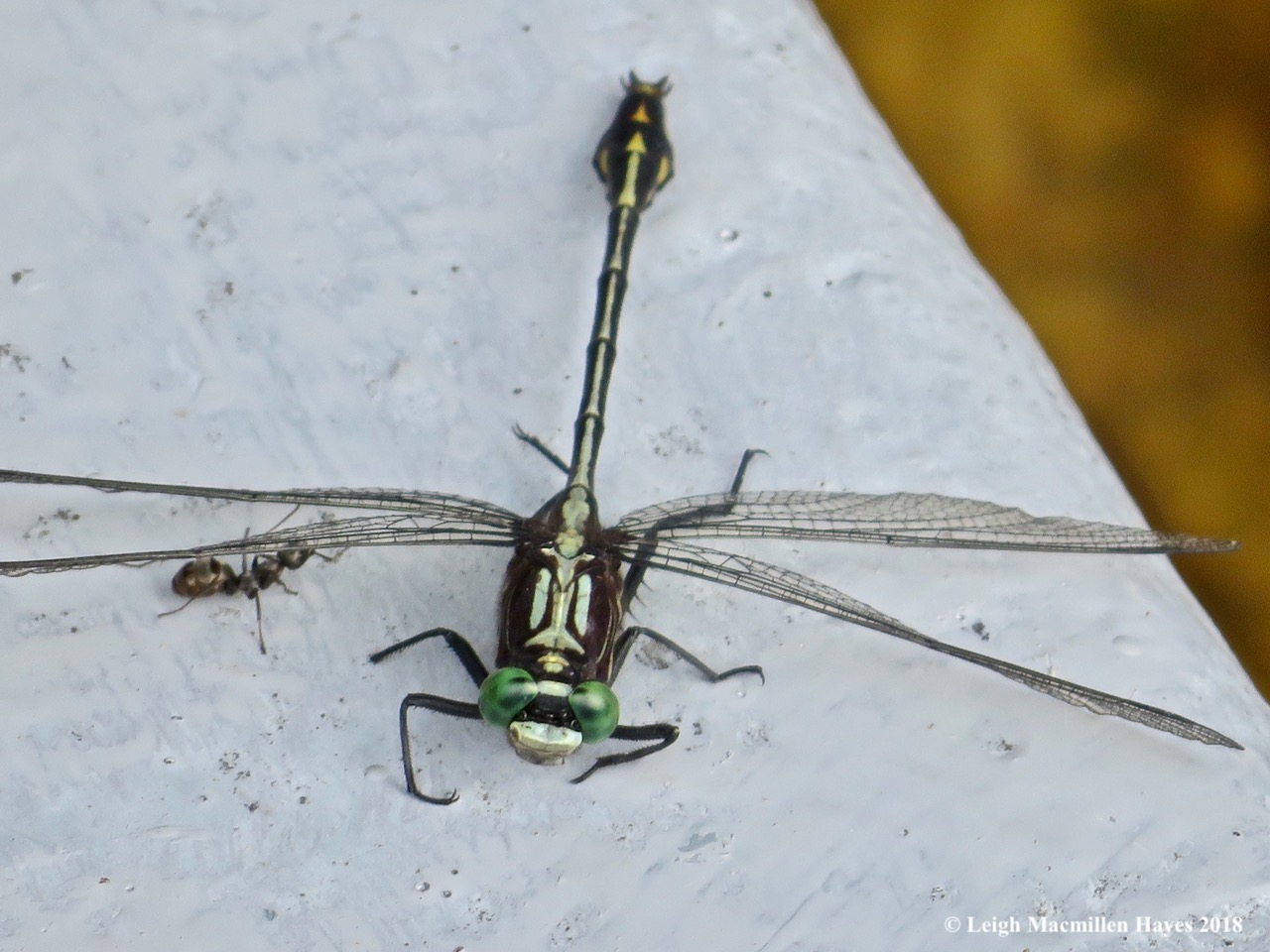 3-lancet clubtail and ant