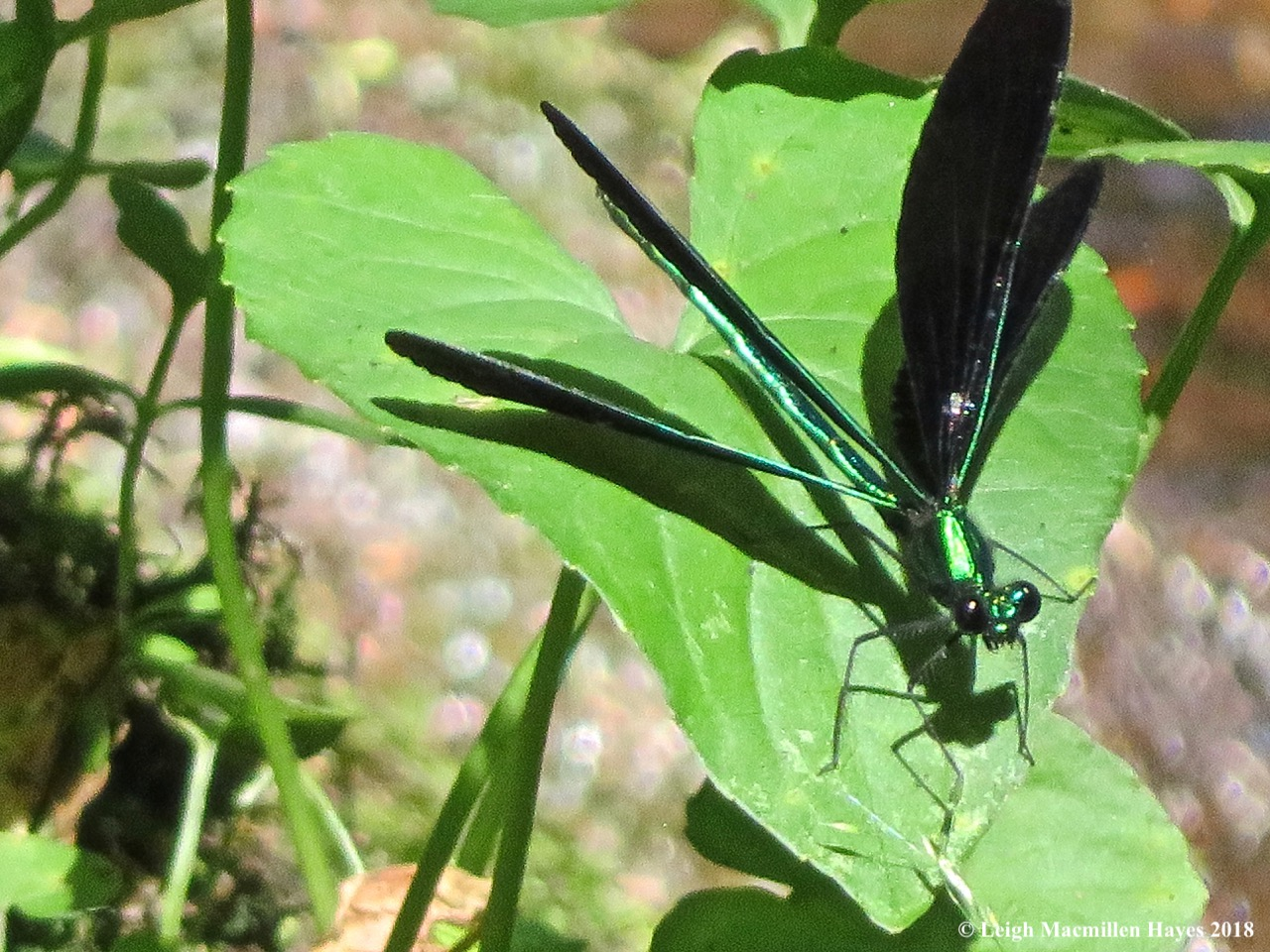 3-male ebony jewelwing