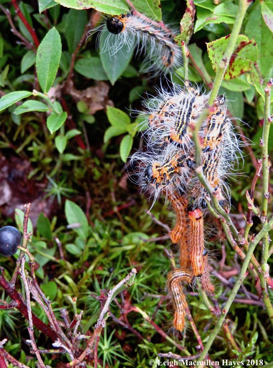 30-blueberry caterpillars