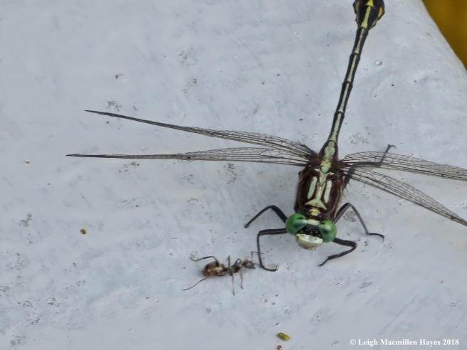 4-ant tickling dragonfly