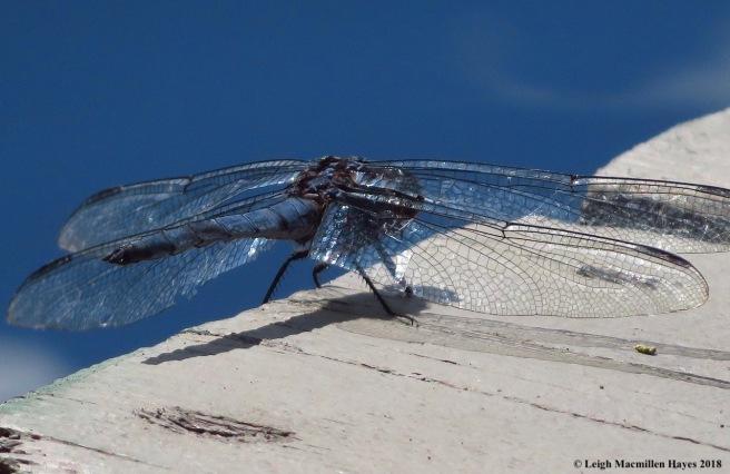 4-slaty blue skimmer dragonfly