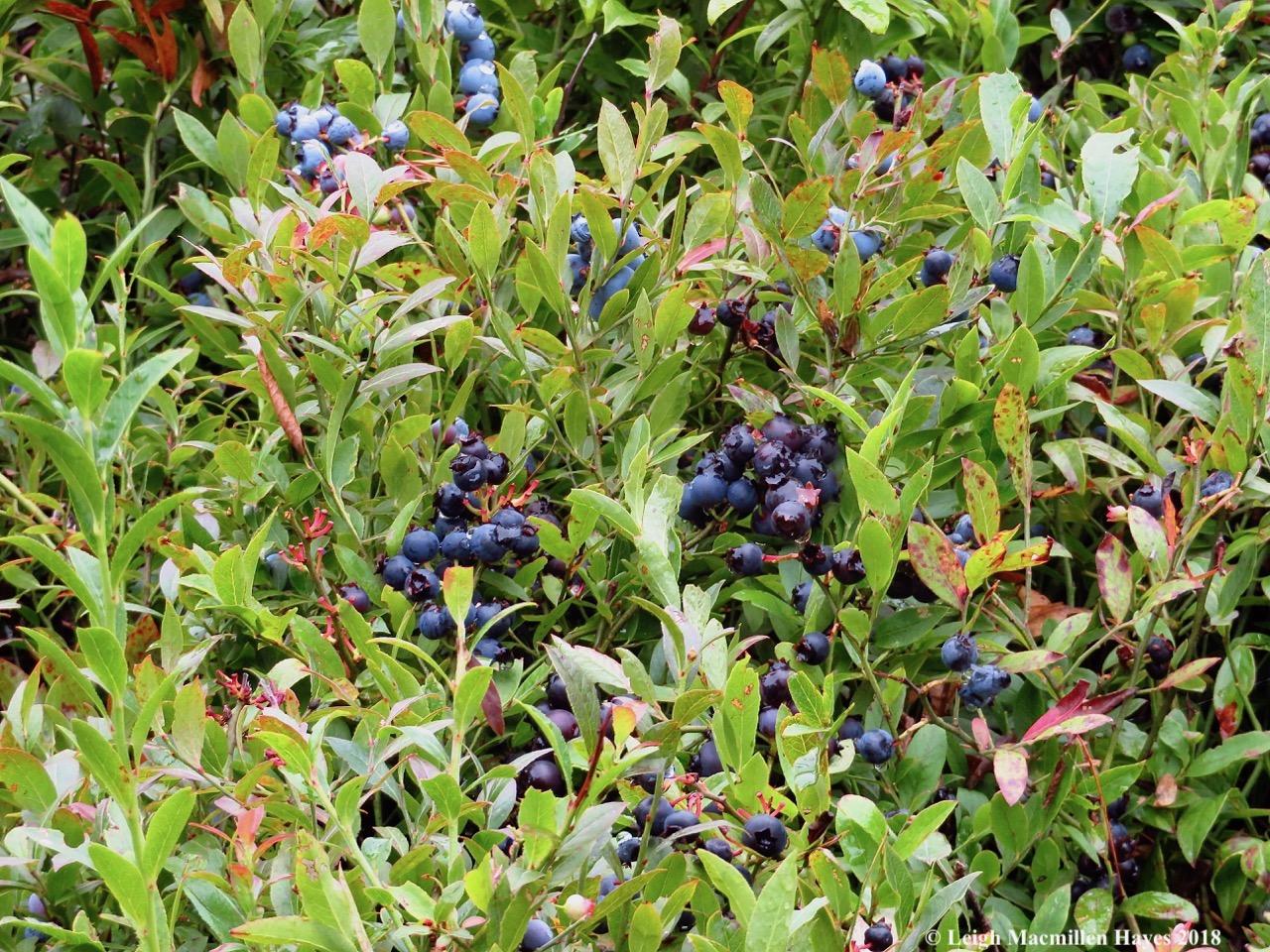 6-blueberry envy