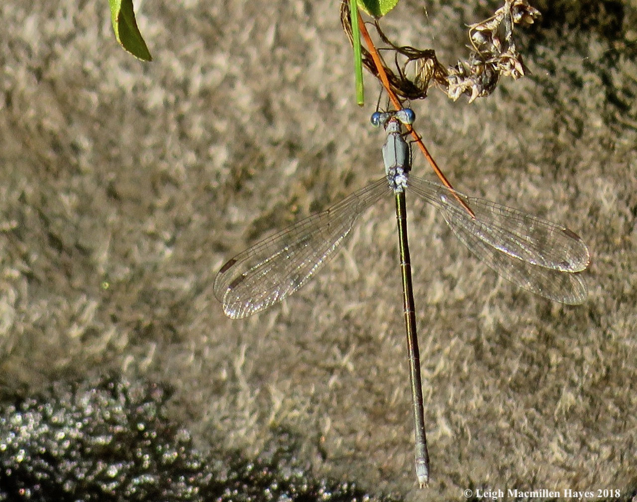6a-Swamp Spreadwing Damselfly