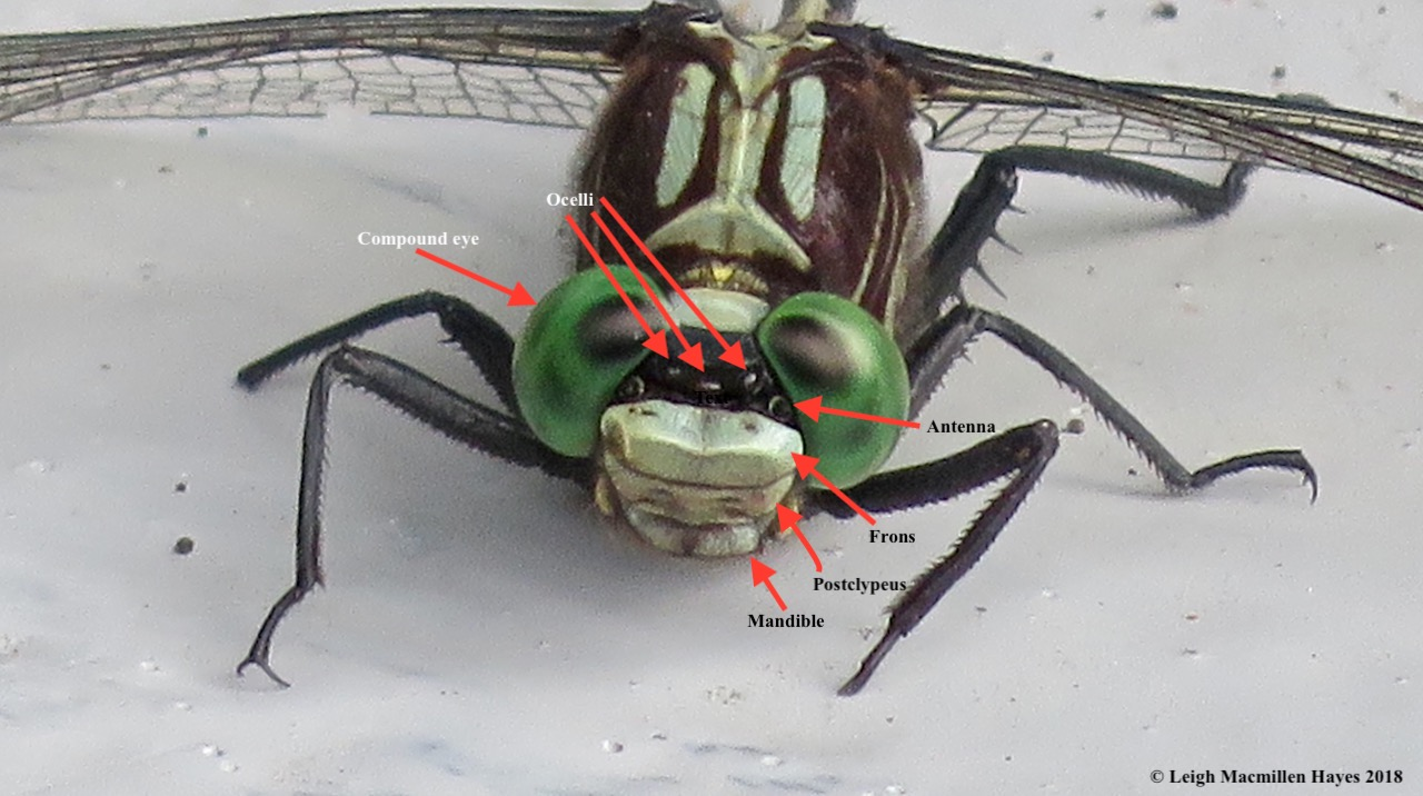 7-facial features of a dragonfly