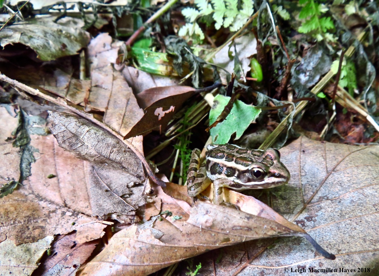 j1-pickerel frog