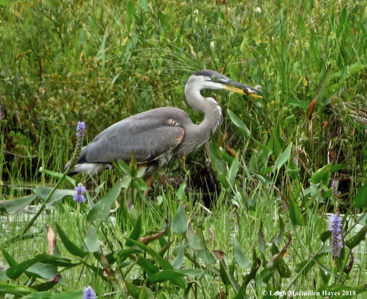 j10-heron and fish
